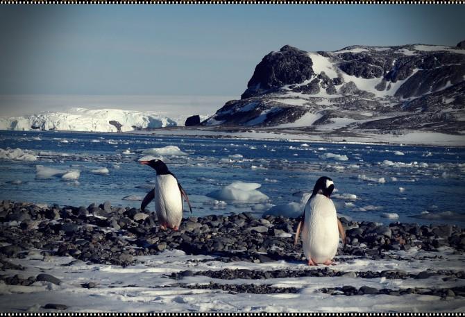 산책길에 만난 젠투펭귄. 남극을 산책하면 흔히 만날 수 있다 - 전현정 제공